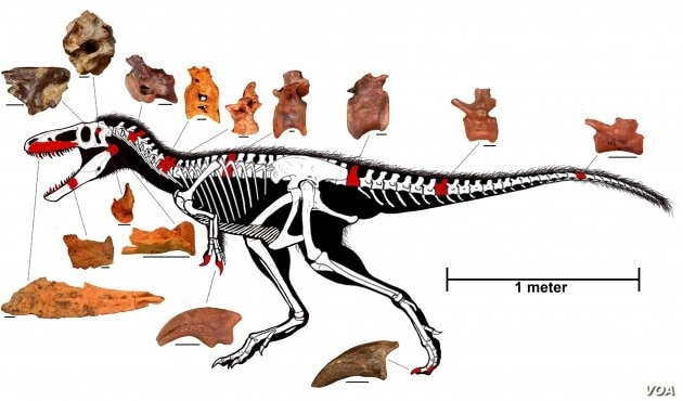 The reconstructed skeleton of Timurlengia euotica. The bones in red are the actual remains recovered from Uzbekistan. (Image courtesy of Proceedings of the National Academy of Sciences)