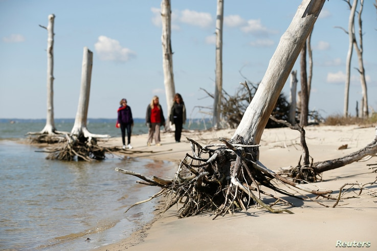 Women walk through a coastal ghost forest believed to be caused by sea level rise on Assateague Island in Virginia, Oct. 25, 2013.