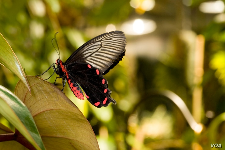"""The """"Butterflies + Plants: Partners in Evolution"""" exhibition at the Smithsonian's National Museum of Natural History. (C. Clark/Smithsonian Institution)"""