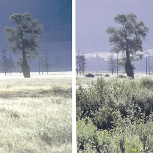 Restoration of wolves to Yellowstone National Park has allowed vegetation to recover from over-browsing by elk. Photo on left taken in 1997, on right in 2001.