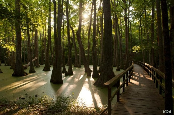 A short trail over and around Cypress Swamp (milepost 122) provides Natchez Trace Parkway visitors with a chance to see turtles, alligators, and a variety of birds.