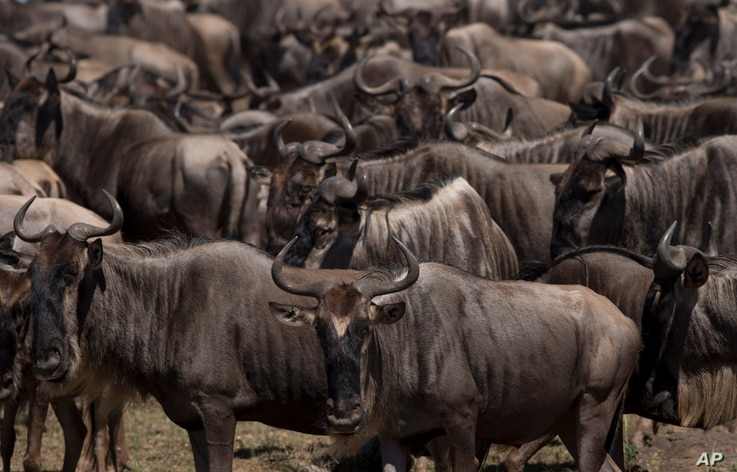 FILE - Wildebeest gather along the banks of the Mara River as they prepare to cross, in the Maasai Mara Game Reserve in Kenya, Dec. 3, 2013.
