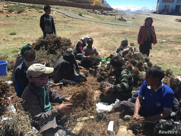 Residents of Komik village, one of the highest villages in the world, tie bundles of a local scrub together in their village located in Spiti Valley in India's northern state of Himachal Pradesh, July 5, 2017..