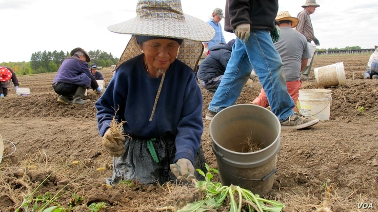 After shade canopies have been removed in the fall, workers harvest ginseng by hand in soil loosened by a special tractor-pulled machine that lifts the roots, in Marathon County, Wis. (C. Guensburg/VOA)