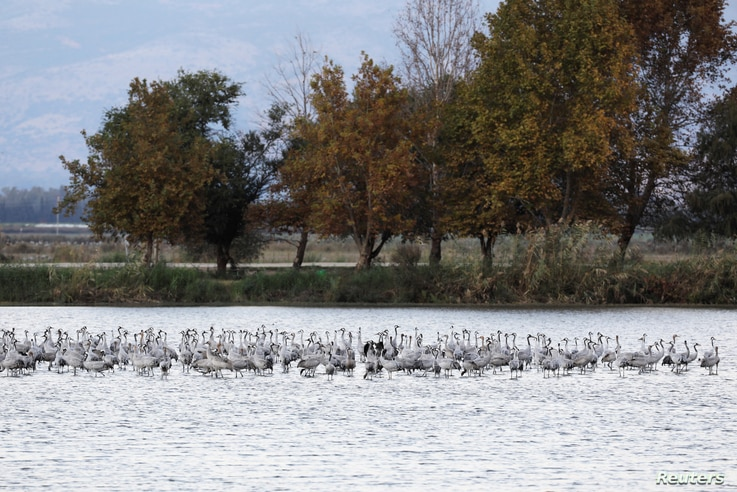Migrating cranes rest at the Hula Nature Park in northern Israel, Nov. 22, 2017.