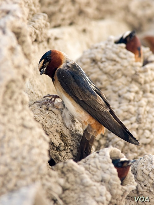 It's been more than 10 years since the swallows nested at Capistrano. (Courtesy Mission San Juan Capistrano)