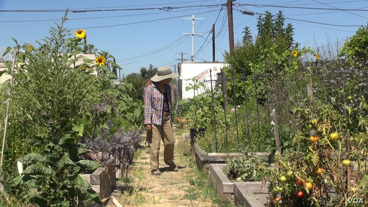 Tamiko Nakamoto oversees 22 urban gardeners in South Los Angeles, whose crops range from tomatoes, bananas and peaches to Swiss chard.