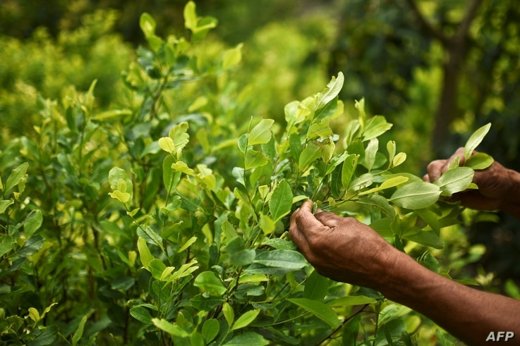 FILE - Diositeo Matitui, a 67-year-old coca grower, works in his coca field in a rural area of Policarpa, department of Narino, Colombia, Jan. 15, 2017.