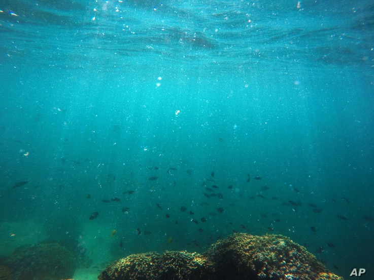 FILE - Fish swim over a patch of bleached coral in Hawaii's Kaneohe Bay off the island of Oahu. Hawaii, Oct. 26, 2015.