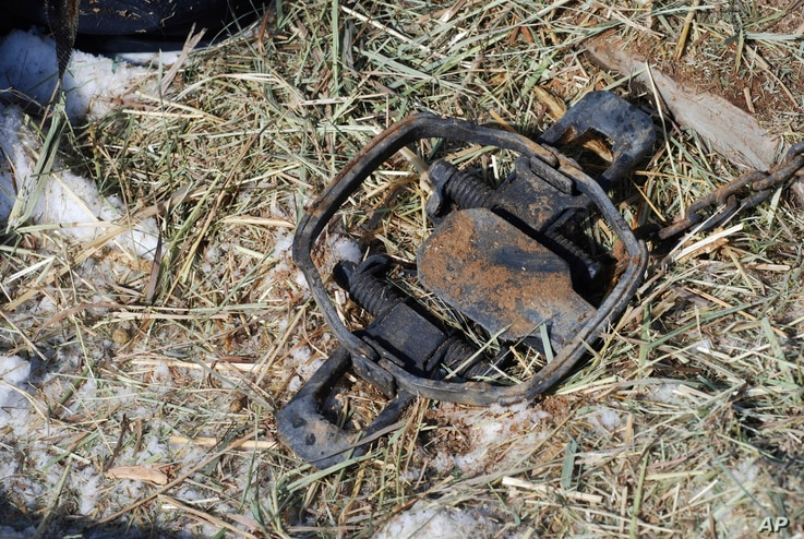 In this Wednesday, Feb. 20, 2019 photo a foothold trap intended for bobcats is set by licensed trapper Tom Fisher on Wednesday, Feb. 20, 2019, on the outskirts of Tierra Amarilla, N.M.