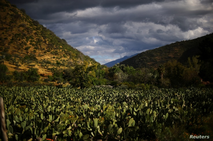 A prickly pear plantation located next to a rail line used by a train to transport garbage, is seen in a valley of Til Til, Chile, Oct. 5, 2017.
