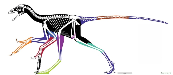 The reconstructed body outline of the bird-like feathered dinosaur Anchiornis using laser-stimulated fluorescence images is pictured in this undated handout image. ( Xiaoli Wang, Michael Pittman et al)