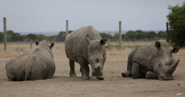 Fatu, center, and Najin, left, the only two female northern white rhinos left in the world, graze where they are kept for observation, at the Ol Pejeta Conservancy in Laikipia county in Kenya, March 2, 2018.