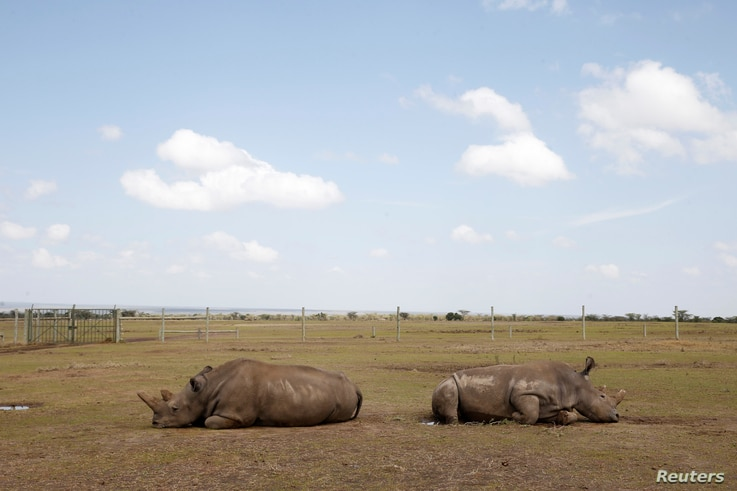Najin (L) and her daughter Patu, the last two northern white rhino females, lie in their enclosure at the Ol Pejeta Conservancy in Laikipia National Park, Kenya March 7, 2018.