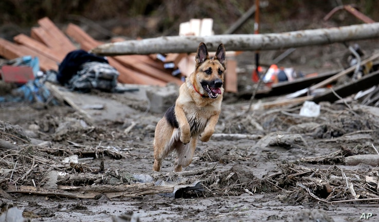 Search dog Stratus leaps through a debris field while working with a handler following a deadly mudslide in Oso, Washington, March 25, 2014.