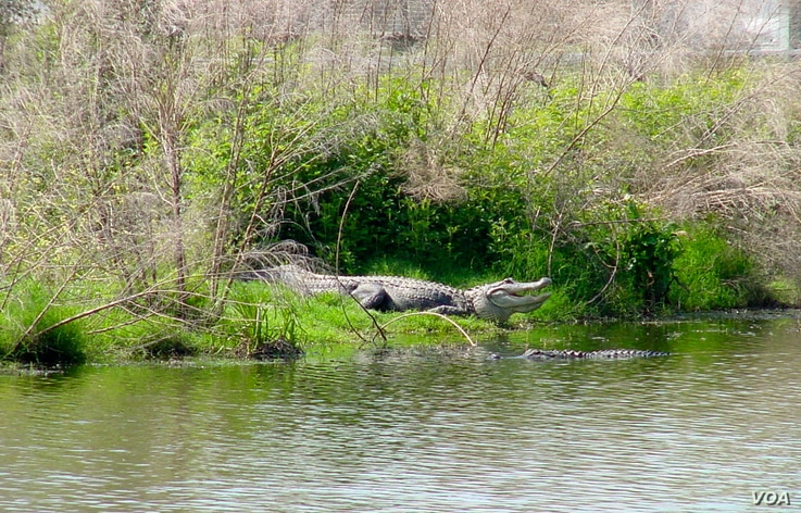 Saved from the brink of extinction, the American alligator now thrives in its native habitat: the swamps and wetlands of the southeastern United States. (Courtesy Mark Glass)