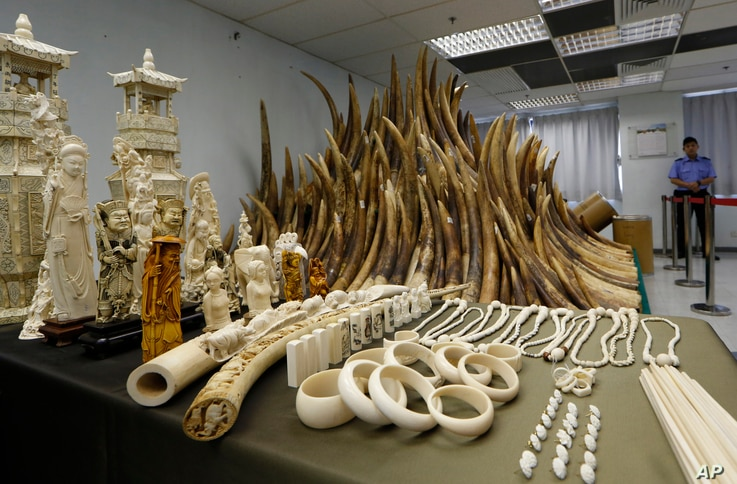 FILE - Confiscated ivory is displayed at a chemical waste treatment center in Hong Kong, May 15, 2014.