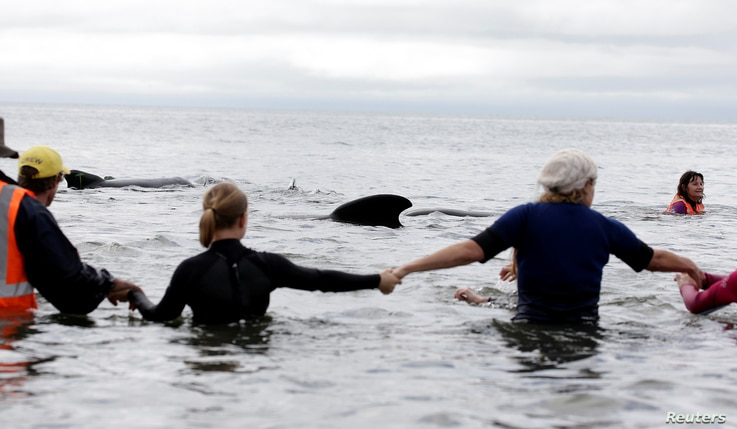 Volunteers form a human chain to stop a pod of pilot whales from stranding themselves again after being refloated after one of the country's largest recorded mass whale strandings, in Golden Bay, at the top of New Zealand's South Island, Feb. 12, 201...