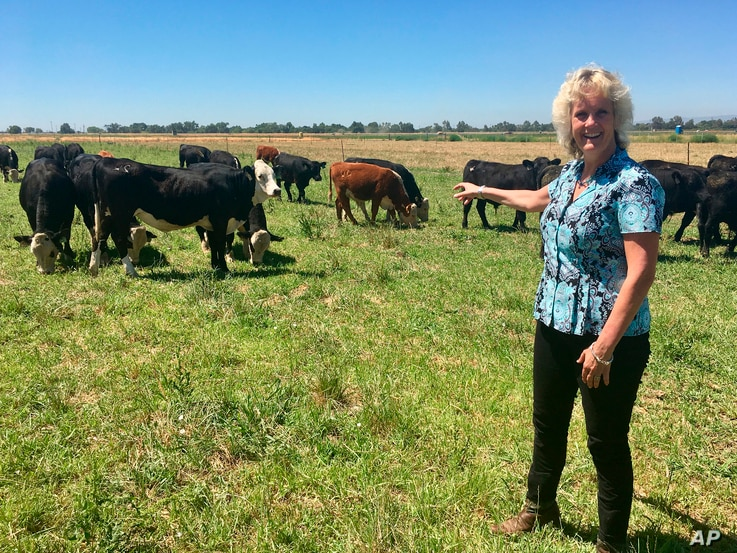 FILE - In this July 11, 2018 photo, animal geneticist Alison Van Eenennaam of the University of California, Davis, points to a group of dairy calves that won't have to be de-horned thanks to gene editing.