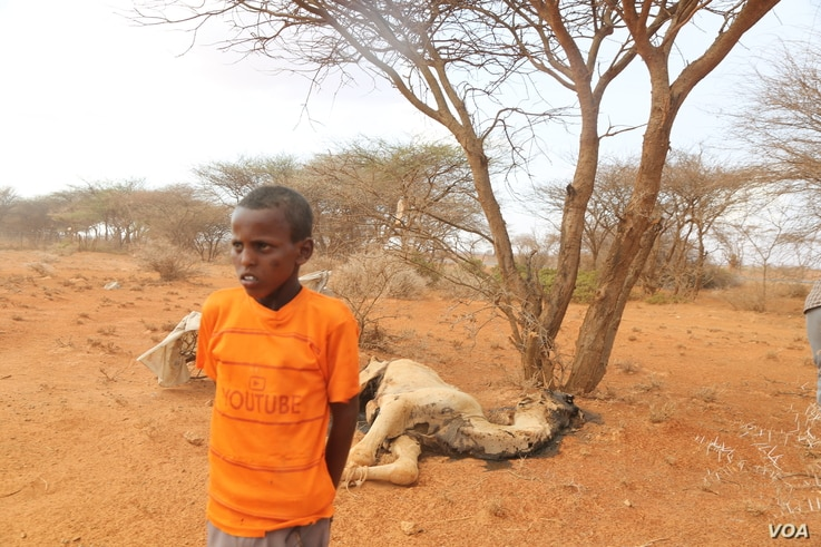 Roble Jama, 13, stands next to the carcass of a camel in Ina-Afmadobe Village, located in the Togdher region of Somaliland. (Photo: A. Osman / VOA)