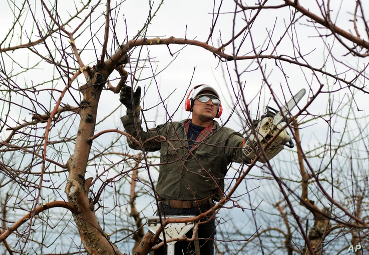 Eladio Beltran prunes apple trees at his job at an orchard in Albion, New York, March 28, 2019.