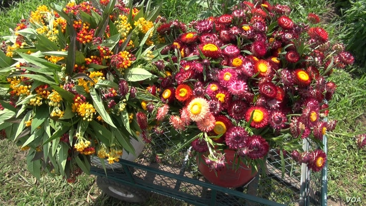 Huge bouquets of flowers await transport to local farmers' markets from the Hmong collective farm in St. Paul, Minnesota.
