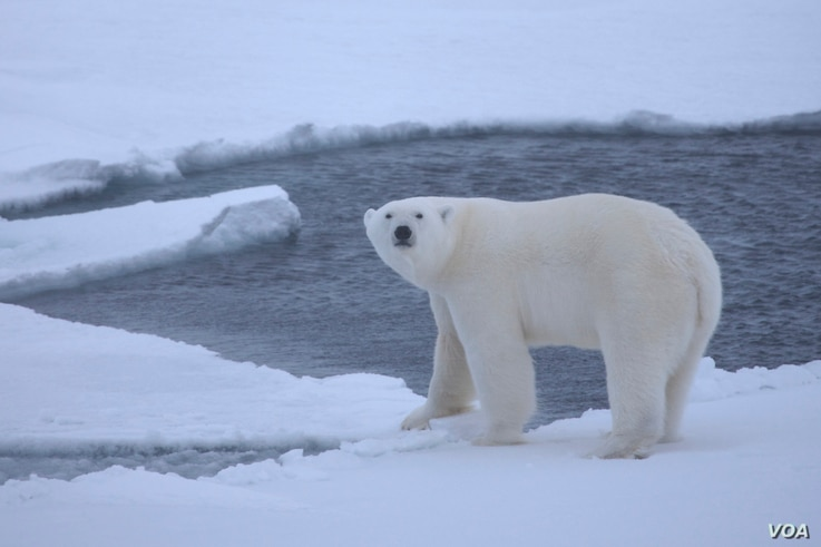 A young polar bear on pack ice over deep waters of the Arctic Ocean. (Credit: Shawn Harper)