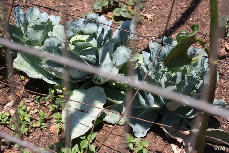 Some of Roberts's huge organic cabbages