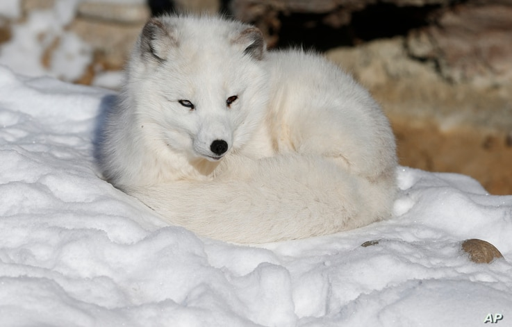 Nola the arctic fox curls up on the snow, at Denver Zoo, which was closed to the public due to extreme cold, in Denver Thursday Dec. 5, 2013. A wintry storm pushing through the western half of the country has brought bitterly cold temperatures that p...