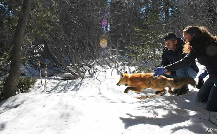 In this undated photo provided by the California Department of Fish and Wildlife, Pete Figura, left, and Deana Clifford of the California Department of Fish and Wildlife release a male red fox back into the wild.