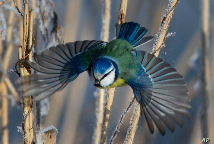 FILE- In this Feb. 26, 2018, photo, a blue tit flies among dried plants covered with hoarfrost near the Belarus village of Dukora, some 40 km (25 miles) southeast of Minsk.
