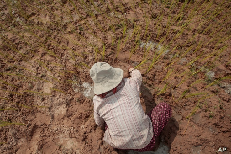 FILE - A Cambodian farmer plants rice on the dry earth in the rice paddy outsidef Phnom Penh, Cambodia, Sept. 22, 2015. This year drought has affected thousands of hectares of rice paddy throughout the country's provinces.