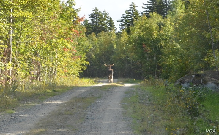 Moose are one of the most common animals in the Maine woods, but are rarely seen.
