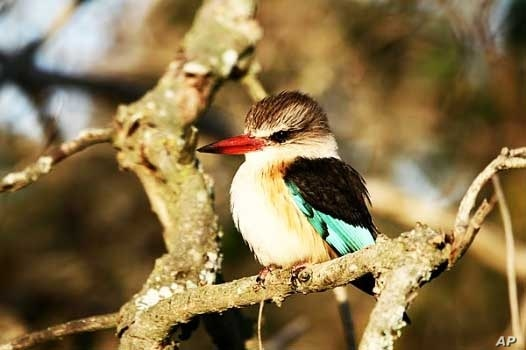 The kingfisher, found near water in South Africa's Eastern Cape province