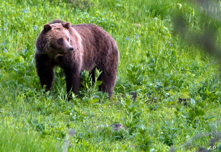 FILE - In this July 6, 2011, file photo, a grizzly bear roams near Beaver Lake in Yellowstone National Park, Wyo. Native American tribes, clans and leaders from seven states and Canada say the U.S. government's recent decision to lift protections for...