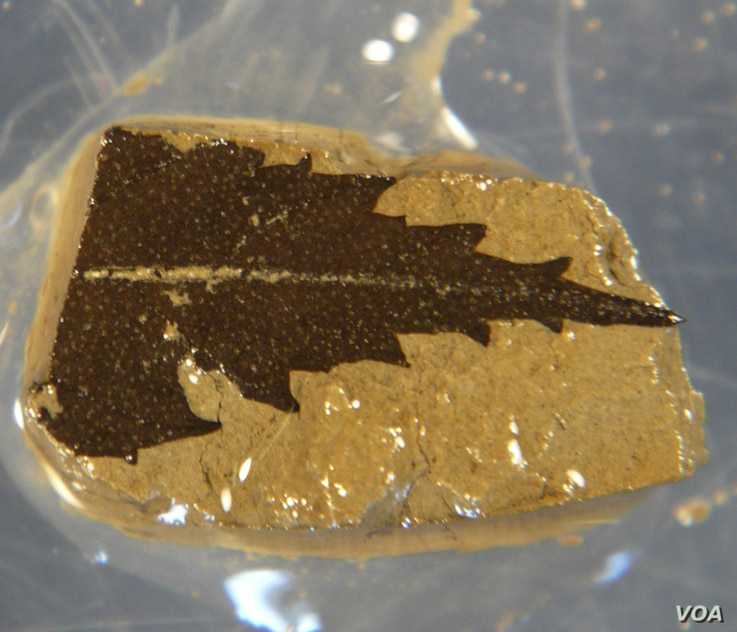 This 24,700 year-old leaf dated by radiocarbon was found in sediment cores from Japan's Lake Suigetsu. (Credit:Richard Staff)