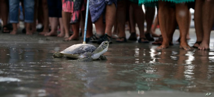 A sea turtle named Picasso carries the ashes of Tony Amos, 80, a renowned oceanographer, on its back as it is released back into the Gulf of Mexico after a memorial service, Sept. 30, 2017, in Port Aransas, Texas.
