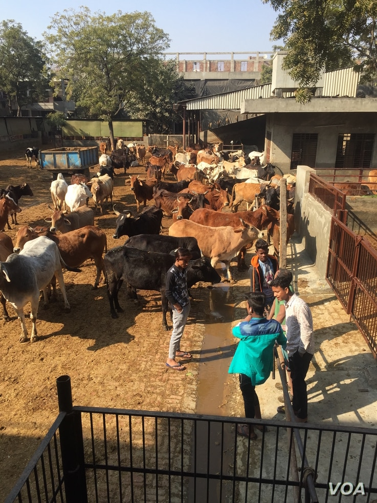 This cow shelter in Ghaziabad in Uttar Pradesh run by a charity looks after aged cows, but such shelters are too few in number to take care of stray cows that many farmers abandon when they turn unproductive.
