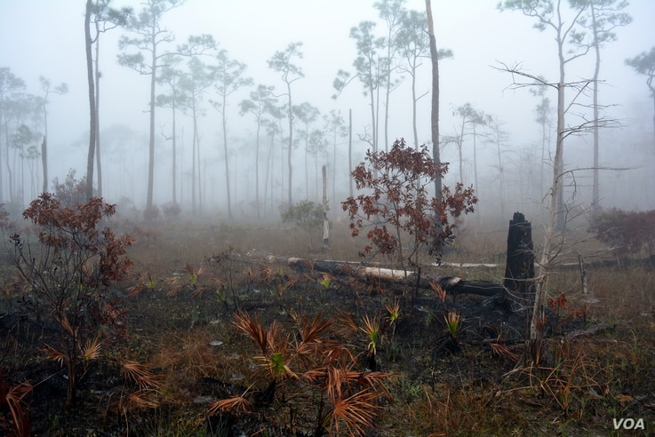 Big Cypress National Preserve has one of the largest prescribed burning programs in the National Park System. When conditions are ideal, fire managers set a slow burning fire to remove selected vegetation to prevent a catastrophic wildfire.