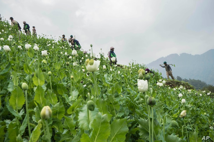 Community based anti-narcotic campaigners destroy a poppy cultivation near Lone Zar village in northern Kachin State, Myanmar. Anti-drug activists said the military and local police are preventing them from destroying fields of opium poppies in north