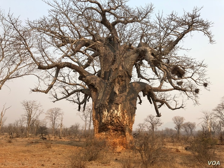Tree devoured by elephants in the Save Valley Conservancy, southeast Zimbabwe.  (C. Mavhunga for VOA)
