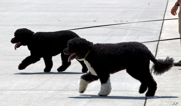 The President's dogs Bo, front, and Sunny walk on the tarmac by their handlers to board Air Force One before the arrival of President Barack Obama and his family at Andrews Air Force Base, Md., Aug. 6, 2016. The first family is traveling to Martha's ...