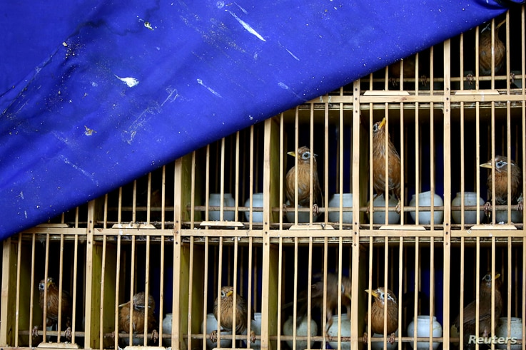 FILE - Seized wild birds are seen inside a cage at a news conference by police officers following a bust on illegal wildlife trade, in Kunming, Yunnan province, China, July 9, 2018.