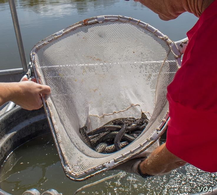 Alligator gar fingerlings about to be released into an Illinois river.
