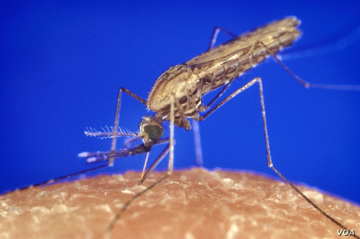 Anopheles gambiae mosquito, which spreads the malaria parasite