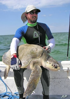 Sea turtle expert Blair Witherington, with the Florida Fish and Wildlife Conservation Commission, holds a Kemp's Ridley sea turtle, one of the rarest turtles in the world.