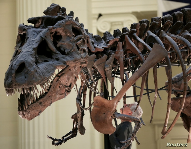 """Bill Simpson looks inside a fossil of a Tyrannosaurus rex known as """"SUE"""", before removing its forelimb to be used for research at the Field Museum in Chicago, Illinois, Oct. 6, 2016."""