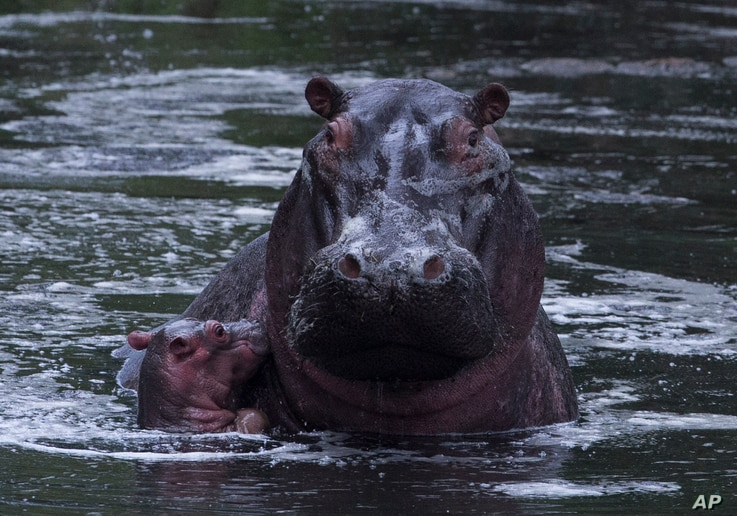 FILE - A baby hippo bobs next to its mother, in Kenya's Maasai Mara Game Reserve.