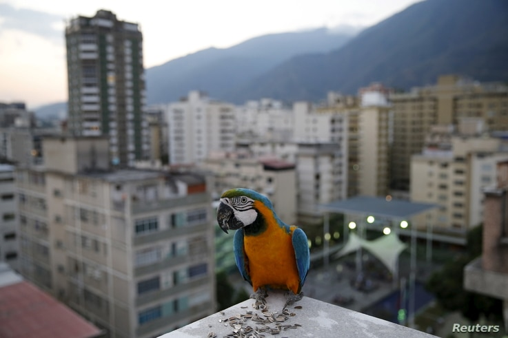 A macaw stands on a rooftop of a building in Caracas, Venezuela, April 1, 2015.