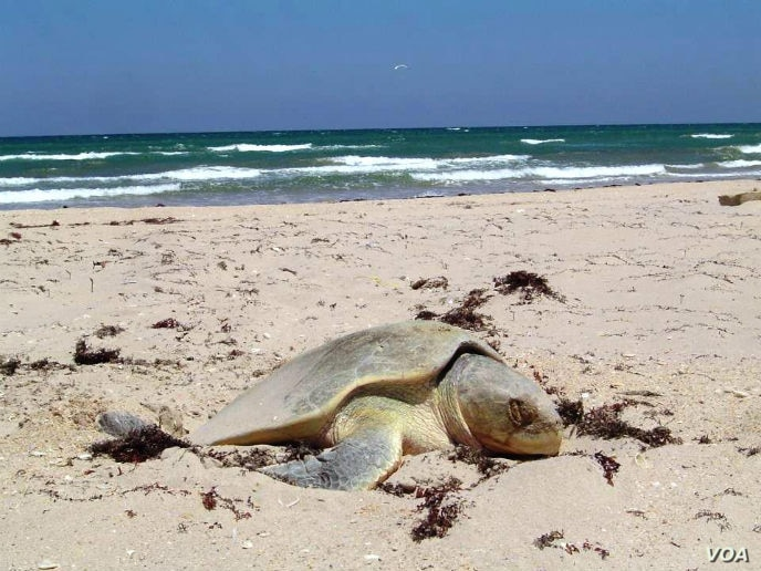 Padre Island National Seashore provides a safe nesting ground for the Kemp's Ridley sea turtle, the most endangered of all sea turtle species.